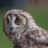Long-eared Owl, Asio otus 1823