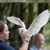 Barn Owl, Tyto alba 1894