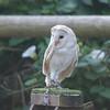 Barn Owl, Tyto alba 1940