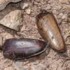 beetle elytra noid 3186
