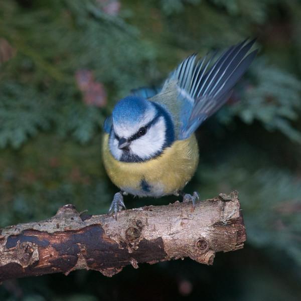 Blue Tit, Cyanistes caeruleus 8165