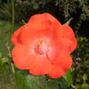 Rose, Rosa 7677