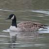 Canada Goose, Branta canadensis 6746