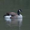 Canada Goose, Branta canadensis 6766