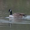 Canada Goose, Branta canadensis 6771