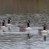 Canada Goose, Branta canadensis 6795