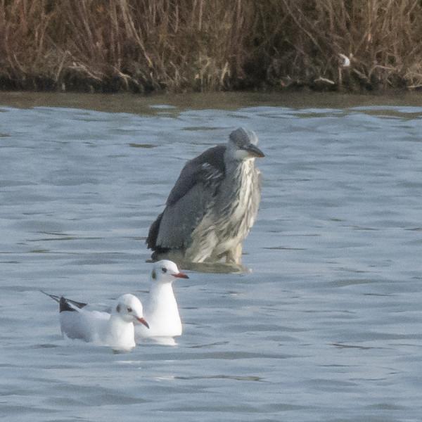 Grey Heron, Ardea cinerea P1240259