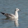 Black-headed Gull, Chroicocephalus ridibundus 6191