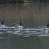 Canada Goose, Branta canadensis 6740