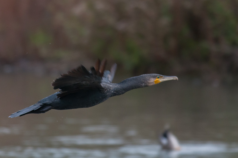 Cormorant, Phalacrocorax carbo 6979