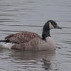 Canada Goose, Branta canadensis 6804