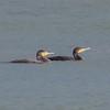 Cormorant, Phalacrocorax carbo 6164