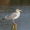 Herring Gull, Larus argentatus P1240267