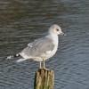 Common Gull, Larus canus P1240266