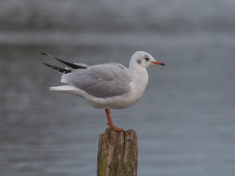 Black-headed Gull, Chroicocephalus ridibundus 7437