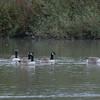 Canada Goose, Branta canadensis 6984
