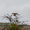 Kestrel, Falco tinnunculus 7079