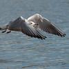 Black-headed Gull, Chroicocephalus ridibundus 6193