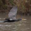 Cormorant, Phalacrocorax carbo 6953