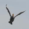Cormorant, Phalacrocorax carbo 6152