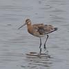 Black-tailed Godwit, Limosa limosa 8268