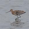 Black-tailed Godwit, Limosa limosa 8264