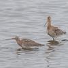 Black-tailed Godwit, Limosa limosa 8292