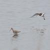 Black-tailed Godwit, Limosa limosa 8518