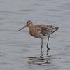 Black-tailed Godwit, Limosa limosa 8272