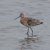 Black-tailed Godwit, Limosa limosa 8267
