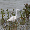 Little Egret, Egretta garzetta 8074
