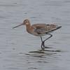 Black-tailed Godwit, Limosa limosa 8263