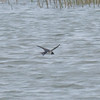 Swallow, Hirundo rustica 8100