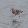 Black-tailed Godwit, Limosa limosa 8269