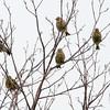 Greenfinch, Carduelis chloris 8550