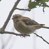 Greenfinch, Carduelis chloris 8552