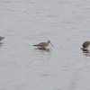 Black-tailed Godwit, Limosa limosa 8509