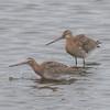 Black-tailed Godwit, Limosa limosa 8281