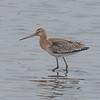 Black-tailed Godwit, Limosa limosa 8262