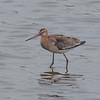 Black-tailed Godwit, Limosa limosa 8265