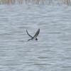 Swallow, Hirundo rustica 8095