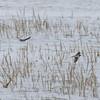 Swallow, Hirundo rustica 8083