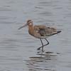 Black-tailed Godwit, Limosa limosa 8266