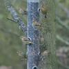 Greenfinch, Carduelis chloris 8579