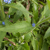 Green Alkanet, Pentaglottis sempervirens 5838