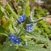 Green Alkanet, Pentaglottis sempervirens 5833