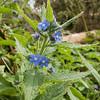 Green Alkanet, Pentaglottis sempervirens 5832