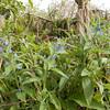 Green Alkanet, Pentaglottis sempervirens 5836