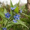 Green Alkanet, Pentaglottis sempervirens, blueflora 5834