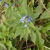 Green Alkanet, Pentaglottis sempervirens 5839
